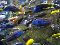 Tropische Fische in Bewegung Stockbilder