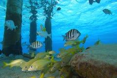 Tropische Fische, Cozumel, Mexiko stockfotografie