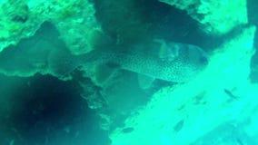 Tropische Fische an den Steinen und an den Korallen stock video footage