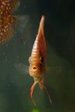 Tropische Fische des Discus Stockfotos