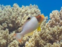 Tropische Fische des jugendlichen zweifarbigen Papageienfisches nähern sich bunter Koralle r stockfotografie