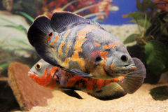 Tropische Fische des Oscar-Cichlidaquariums Stockfotografie