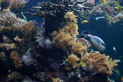 tropische fische schwimmen in einem korallenriff beim great barrier reef stockfoto bild 71109288. Black Bedroom Furniture Sets. Home Design Ideas
