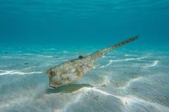 Tropische Fische ein Longhorn Cowfish Lactoria-cornuta lizenzfreies stockbild