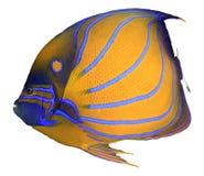 Tropische Fische getrennt lizenzfreie stockfotos