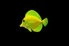Tropische Fische getrennt Lizenzfreie Stockbilder
