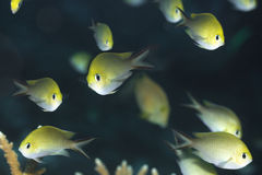 Tropische Fische goldenes Chromis stockfotos