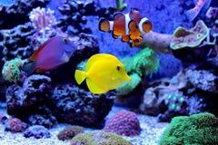 Tropische Fische im Marineaquariumbehälter Lizenzfreies Stockbild