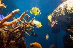 Tropische Fische im Meerwasser Stockbild