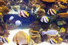 Tropische Fische am Korallenriffbereich im Meerwasser Stockbilder