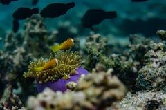 Tropische Fische nähern sich schönen Korallen im Indischen Ozean bei Malediven Lizenzfreies Stockfoto