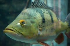 Tropische Fische schließen oben lizenzfreie stockbilder