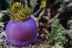 Tropische Fische schwimmen nahe schönen Korallen im Indischen Ozean bei Malediven Stockfotos