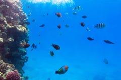 Tropische Fische von Rotem Meer Stockfotos