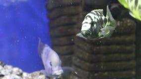 Tropische Fische ziehen herein transparentes Wasser ein stock footage