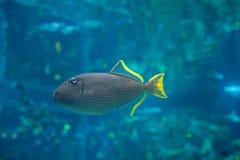 Tropische Fischschwimmen im Aquarium Seitenprofil stockfoto