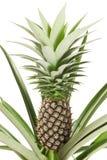 Ananas stockbilder