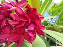 Tropische frangipanibloemen royalty-vrije stock afbeelding