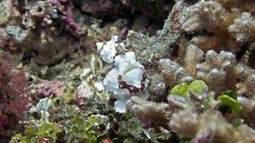 Tropische frogfish onder de koralen stock foto's