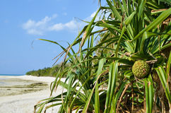 Tropische Frucht Adan Lizenzfreie Stockbilder