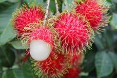 Tropische Frucht, Rambutan auf Baum Lizenzfreie Stockfotos