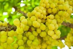 Tropische Frucht, siamesische gebürtige Frucht Stockbilder