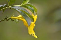 Tropische gele bloem Royalty-vrije Stock Afbeelding
