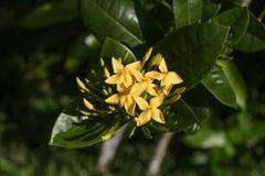 Tropische gele bloemen Royalty-vrije Stock Afbeelding