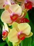 Tropische gele orchideeën royalty-vrije stock afbeelding
