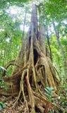 Tropische gigantische boom. Royalty-vrije Stock Foto's