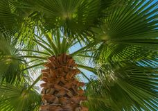 Tropische grüne Palme gegen den hellen blauen Himmel Stockfotografie