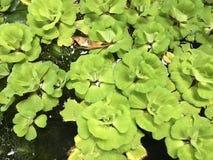 Tropische groene 'watersla '- Pistia stratiotes in de vijver royalty-vrije stock afbeelding