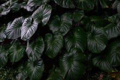 Tropische groene bladeren in natuurlijk licht en schaduw met groene gestemde kleur en selectieve nadruk Royalty-vrije Stock Fotografie