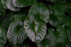 Tropische groene bladeren in natuurlijk licht en schaduw met groene gestemde kleur en selectieve nadruk Stock Afbeeldingen