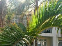 Tropische groene palmen met grote vegende hangende bladeren en installaties in de toevlucht tegen de achtergrond van Arabische Mo royalty-vrije stock fotografie