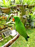 Tropische groene papegaai in tuin Stock Afbeeldingen