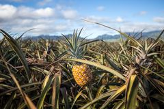 Tropische Hawaiiaanse ananassen op een gebied op Oahu stock fotografie