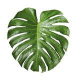 Tropische het blad en het waterdaling van Monsteradeliciosa Royalty-vrije Stock Afbeeldingen
