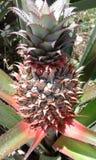 Tropische het fruit van de ananastuin Stock Foto's