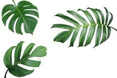 Tropische het kaderlay-out van de bladerenaard van Monstera en spleet-blad p stock afbeelding