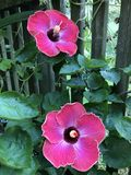 Tropische hibiscusbloemen Stock Foto