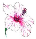 Tropische Hibiscusblume für Heiratsdruckprodukte Lizenzfreie Stockfotos