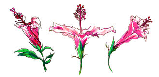 Tropische Hibiscusblumenknospen für Heiratsdruckprodukte Stockfoto