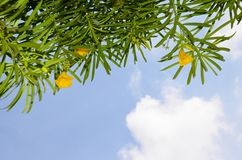 Tropische installatie met gele kleuren tegen de achtergrond van de blauwe hemel en de witte wolken Stock Afbeelding