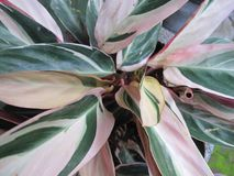Tropische Installaties, met Groene en Witte Kleurenbladeren Royalty-vrije Stock Afbeelding