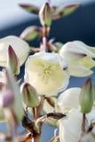 Tropische installatieyucca & x28; flowers& x29; stock afbeelding