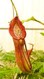Tropische Kannenpflanze. stockbild