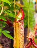 Tropische Kannenpflanze Lizenzfreie Stockfotos