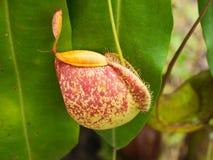 Tropische Kannenpflanzen lizenzfreies stockfoto