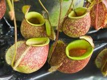 Tropische Kannenpflanzen lizenzfreie stockfotos